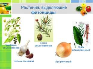 Растения, выделяющие фитонциды Чеснок посевной Лук репчатый Хрен обыкновенный