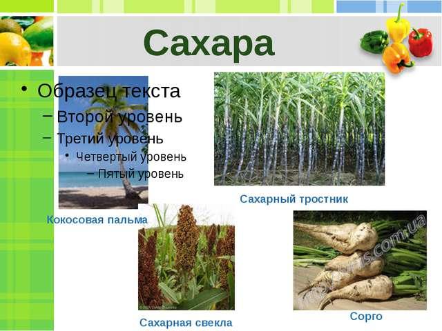 Сахара Сахарный тростник Сорго Сахарная свекла Кокосовая пальма