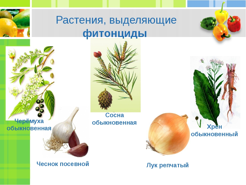 Растения, выделяющие фитонциды Чеснок посевной Лук репчатый Хрен обыкновенный...
