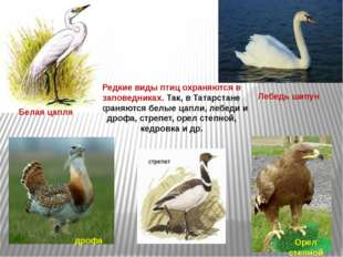 Редкие виды птиц охраняются в заповедниках. Так, в Татарстане охраняются белы