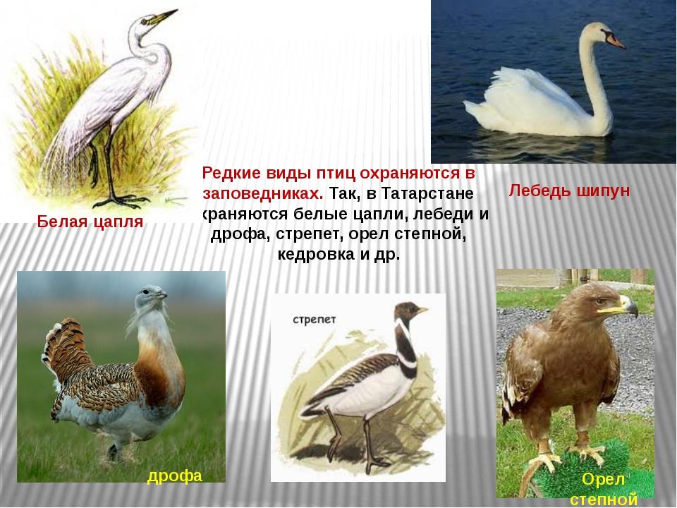 Редкие виды птиц охраняются в заповедниках. Так, в Татарстане охраняются белы...