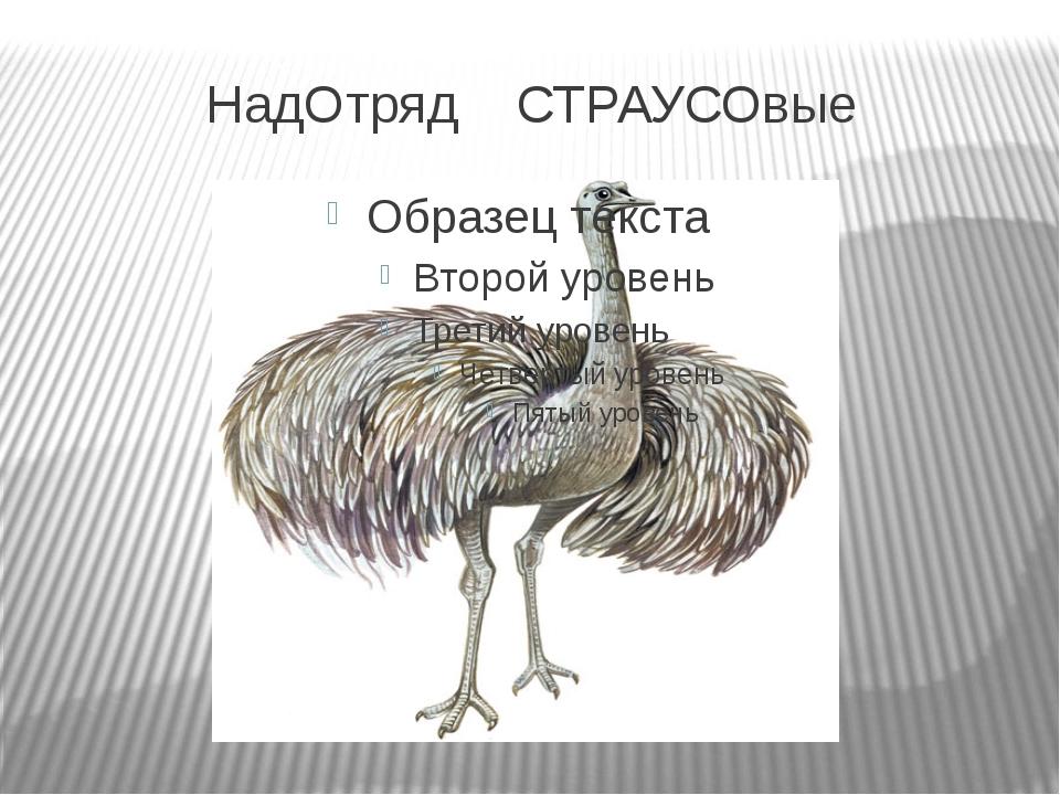 НадОтряд СТРАУСОвые