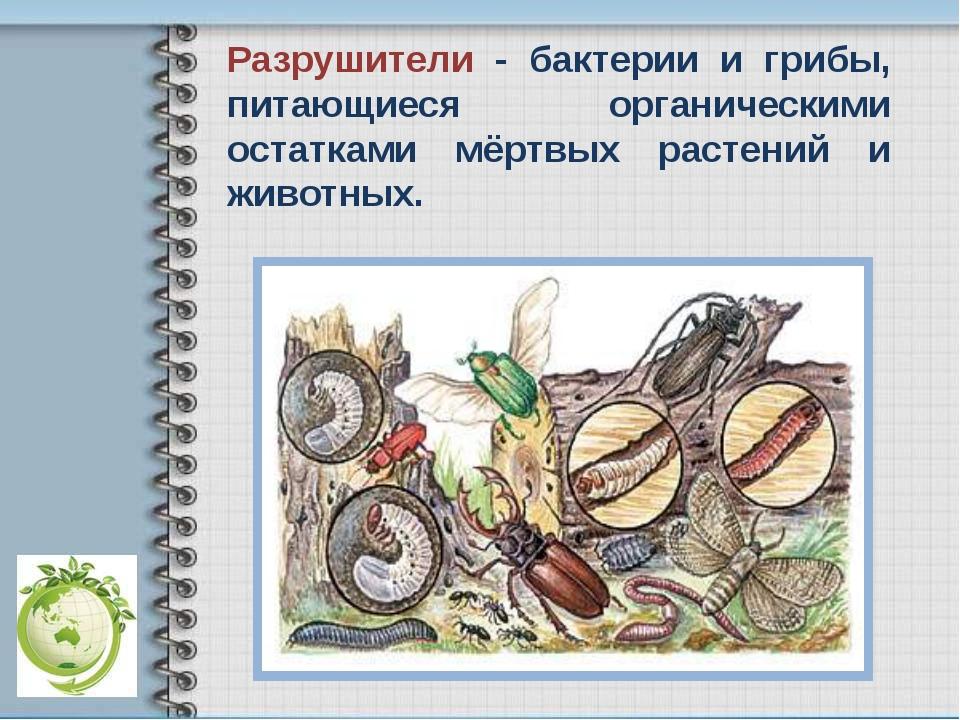 Разрушители - бактерии и грибы, питающиеся органическими остатками мёртвых ра...