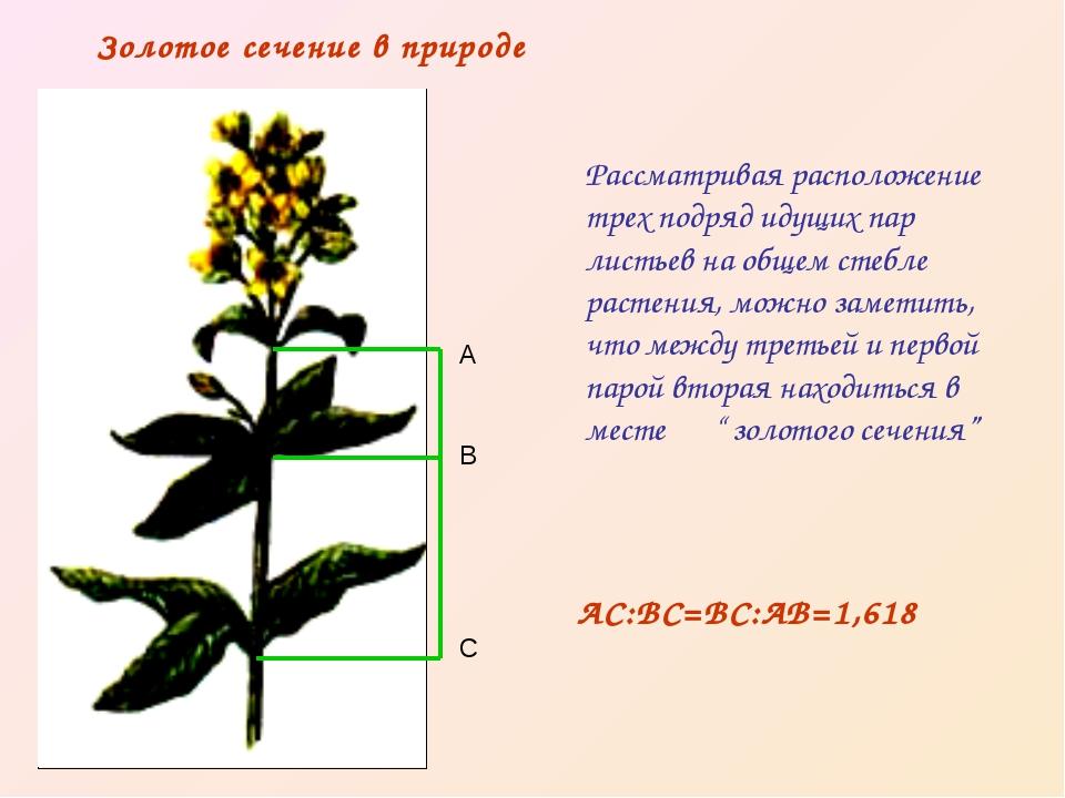 Рассматривая расположение трех подряд идущих пар листьев на общем стебле раст...