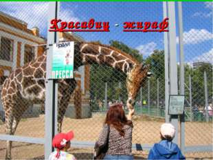 Красавиц - жираф