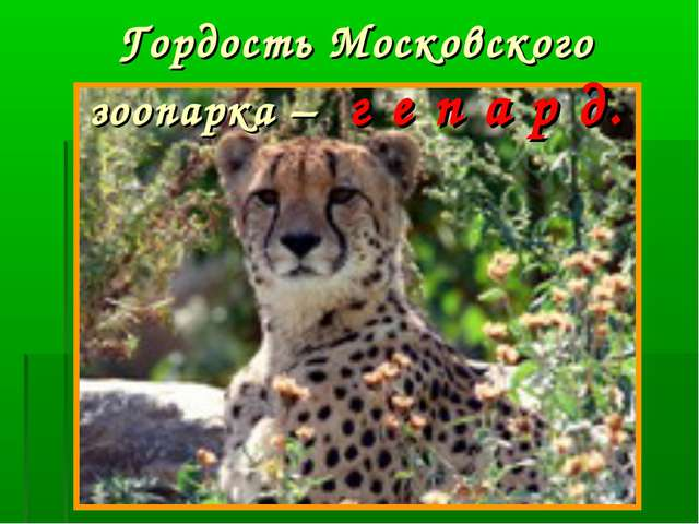 Гордость Московского зоопарка – г е п а р д.