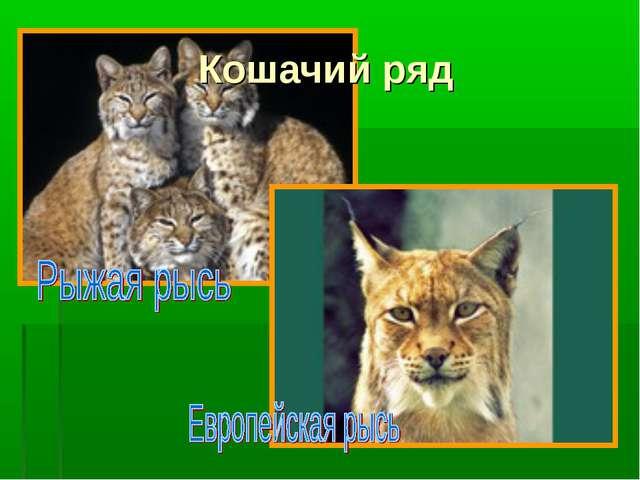 Кошачий ряд