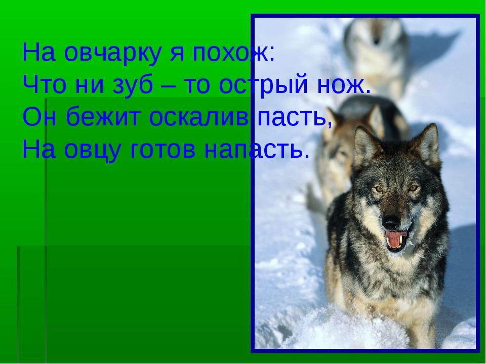 На овчарку я похож: Что ни зуб – то острый нож. Он бежит оскалив пасть, На ов...