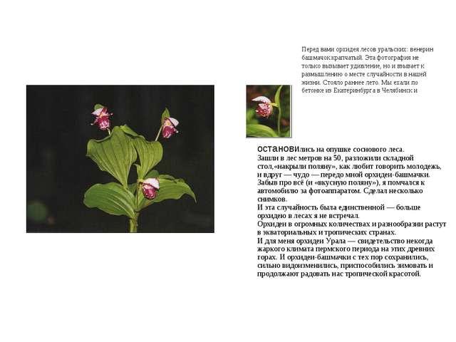 Перед вами орхидея лесов уральских: венерин башмачок крапчатый. Эта фотографи...