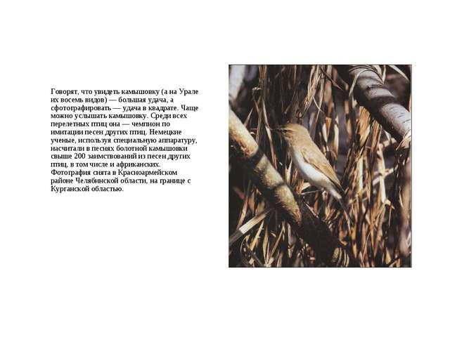 Говорят, что увидеть камышовку (а на Урале их восемь видов) — большая удача,...