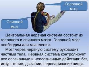 Центральная нервная система состоит из головного и спинного мозга. Головной