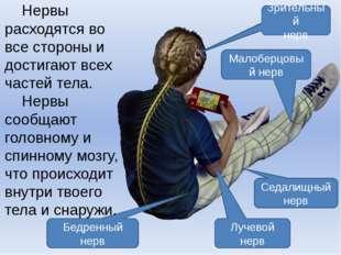 Зрительный нерв Малоберцовый нерв Седалищный нерв Лучевой нерв Бедренный нерв