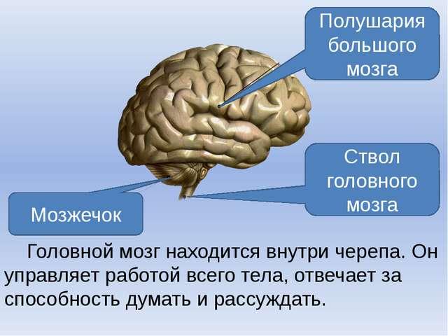 Головной мозг находится внутри черепа. Он управляет работой всего тела, отве...