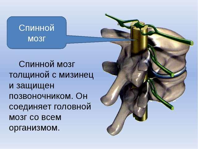 Спинной мозг Спинной мозг толщиной с мизинец и защищен позвоночником. Он соед...