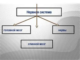 Нервная система головной мозг нервы спинной мозг