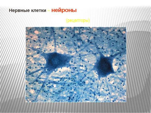 Нервные клетки – нейроны (рецепторы)