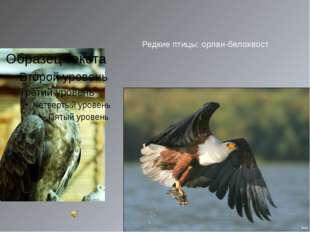 Редкие птицы: орлан-белохвост