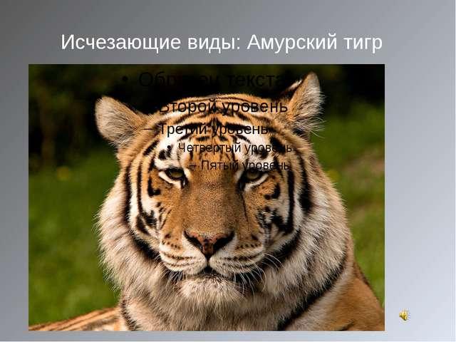 Исчезающие виды: Амурский тигр