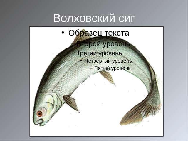 Волховский сиг