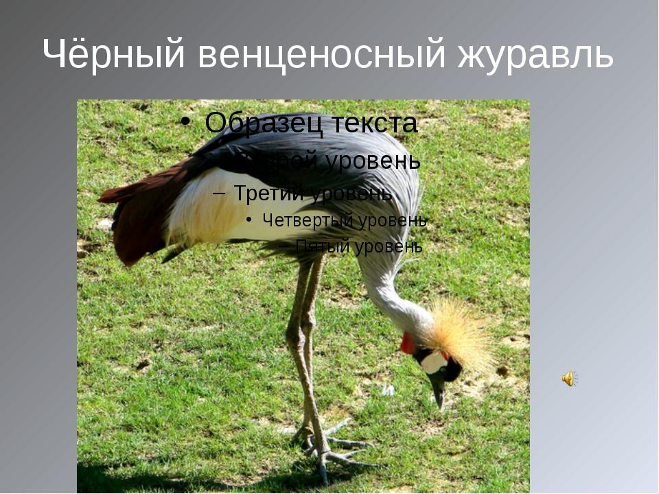 Чёрный венценосный журавль