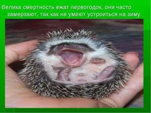 Велика смертность ежат первогодок, они часто замерзают, так как не умеют уст