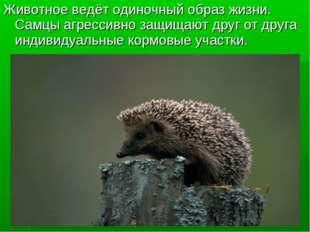 Животное ведёт одиночный образ жизни. Самцы агрессивно защищают друг от друга