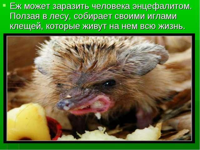Еж может заразить человека энцефалитом. Ползая в лесу, собирает своими иглами...