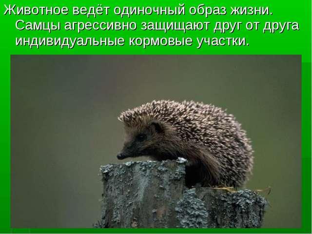 Животное ведёт одиночный образ жизни. Самцы агрессивно защищают друг от друга...