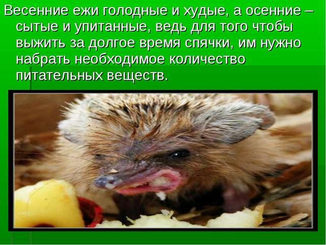 Весенние ежи голодные и худые, а осенние – сытые и упитанные, ведь для того ч...