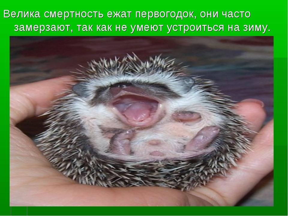 Велика смертность ежат первогодок, они часто замерзают, так как не умеют уст...