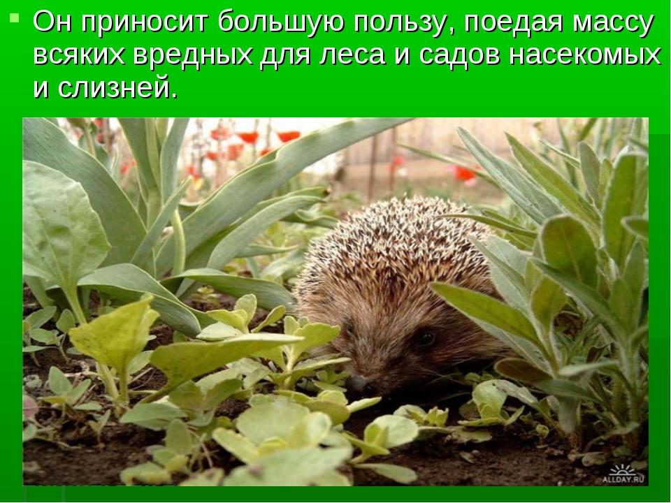 Он приносит большую пользу, поедая массу всяких вредных для леса и садов насе...