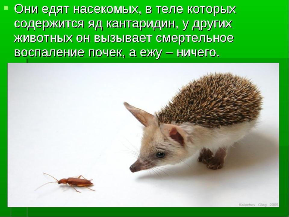 Они едят насекомых, в теле которых содержится яд кантаридин, у других животны...