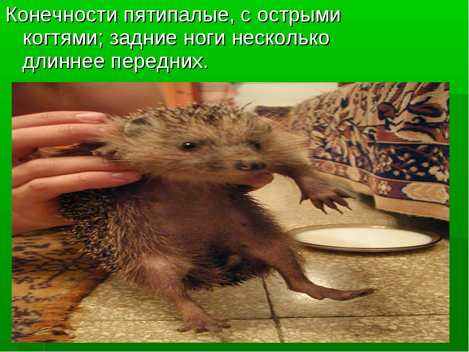 Конечности пятипалые, с острыми когтями; задние ноги несколько длиннее передн...