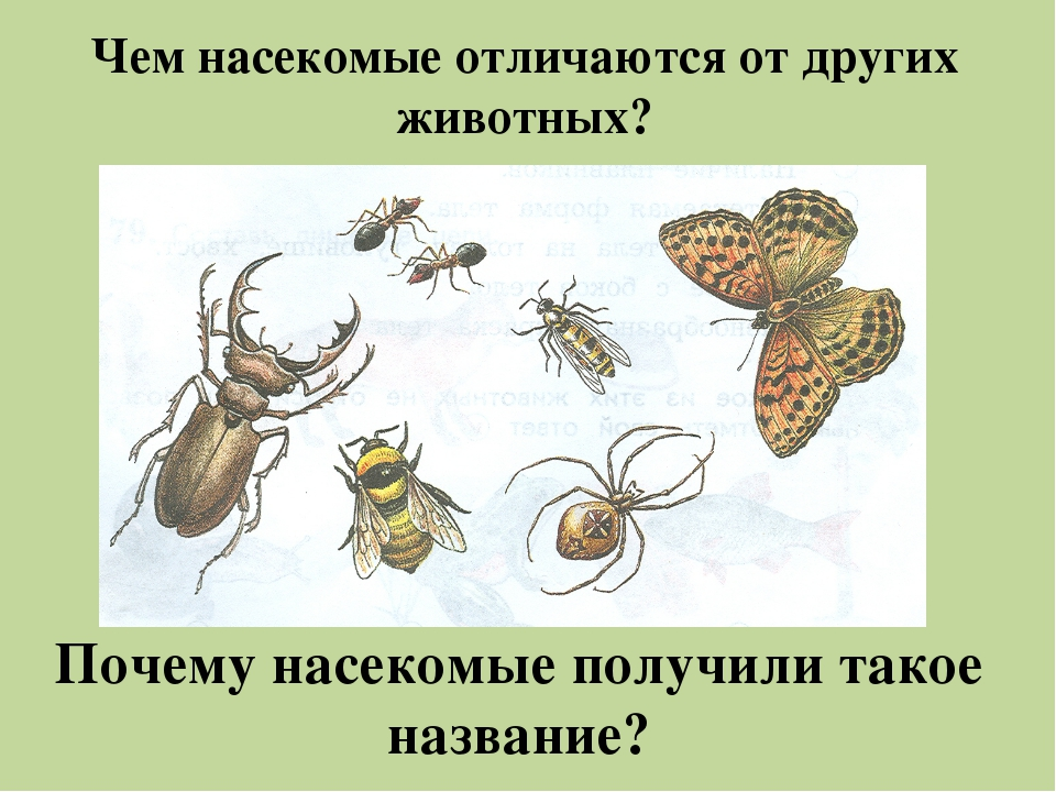 Чем насекомые отличаются от других животных? Почему насекомые получили такое...
