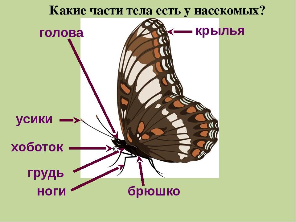 усики крылья голова хоботок грудь брюшко ноги Какие части тела есть у насеком...
