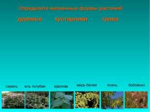 Определите жизненные формы растений бобовник ясень сирень ель голубая крапива