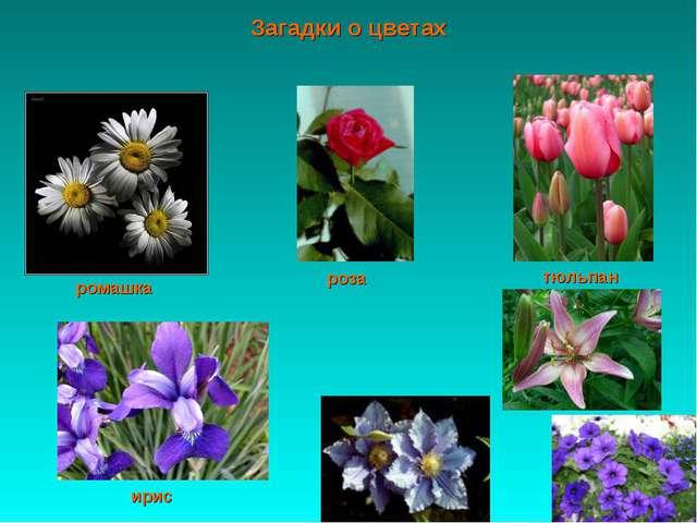 Загадки о цветах ромашка ирис роза тюльпан
