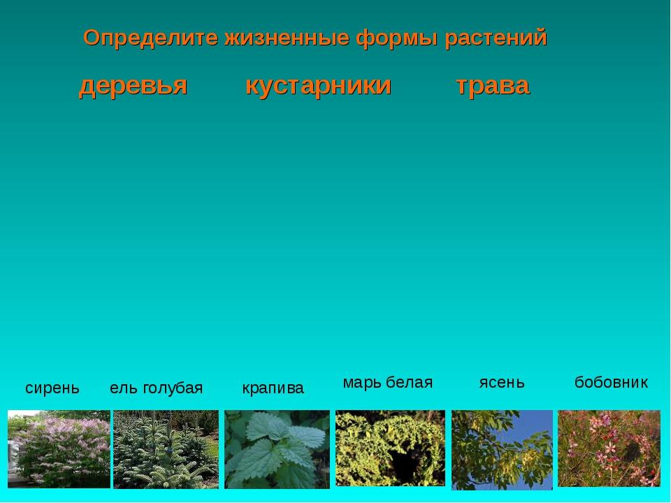 Определите жизненные формы растений бобовник ясень сирень ель голубая крапива...