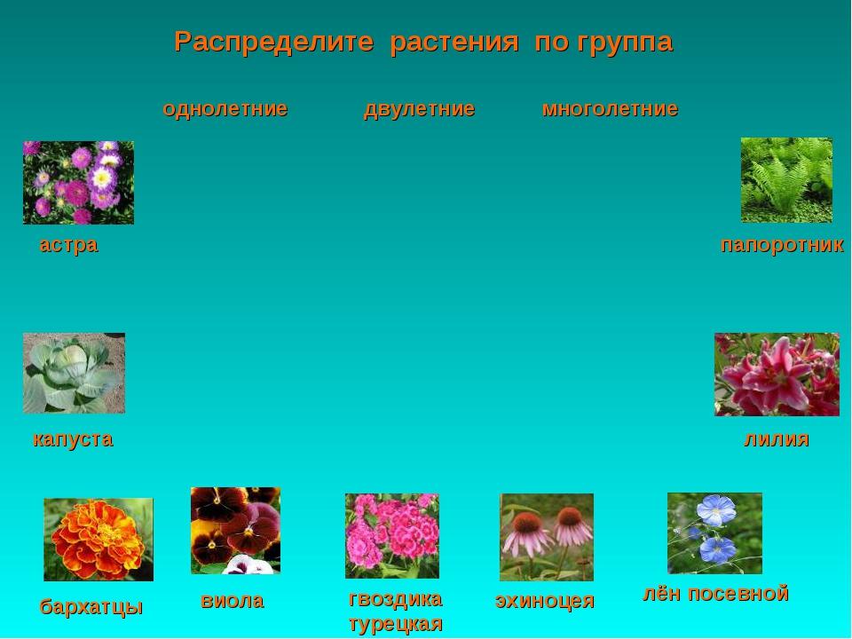 Распределите растения по группа астра папоротник капуста лилия виола эхиноцея...