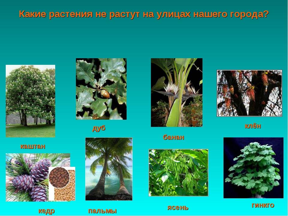 гинкго кедр пальмы ясень клён банан каштан дуб Какие растения не растут на ул...
