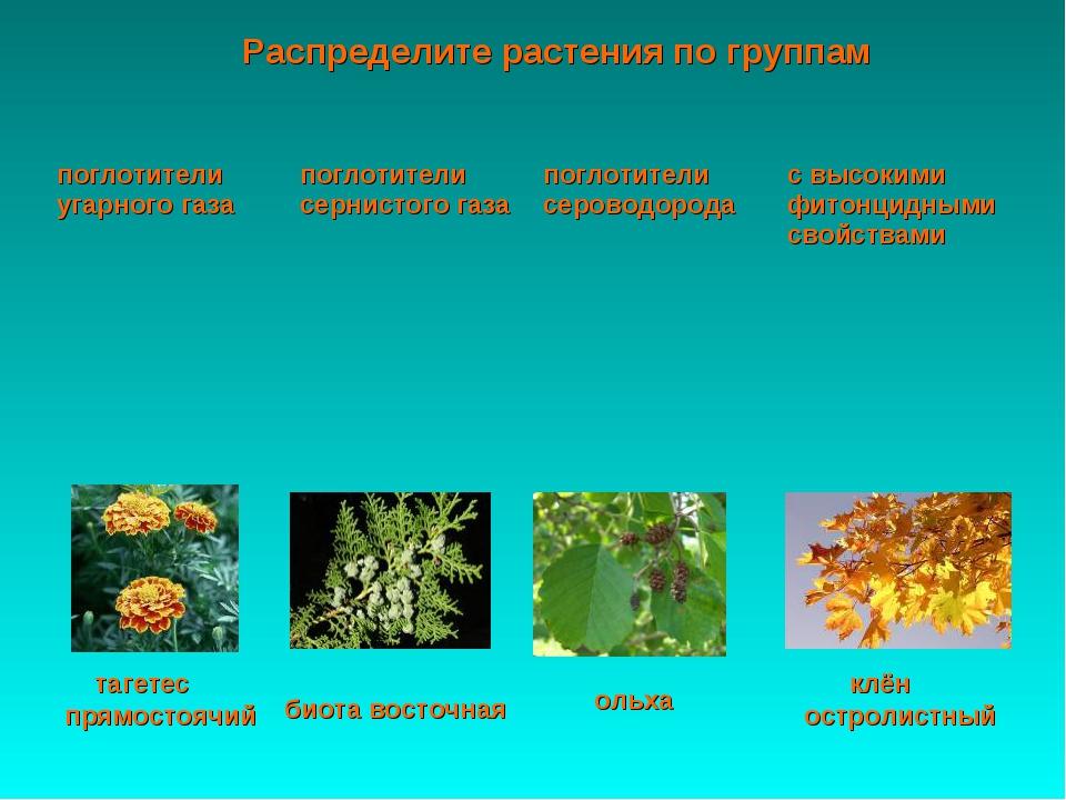 Распределите растения по группам ольха тагетес прямостоячий клён остролистный...