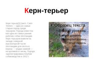 Керн-терьер Керн терьер[1] (англ. Cairn Terrier) — одна из самых старых пород
