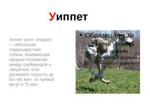 Уиппет Уиппет (англ. whippet) — небольшая гладкошерстная собака, занимающая с
