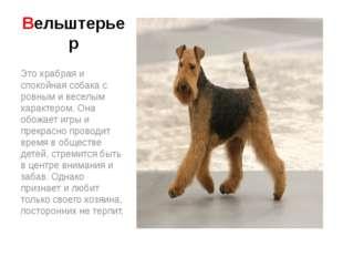 Вельштерьер Это храбрая и спокойная собака с ровным и веселым характером. Она