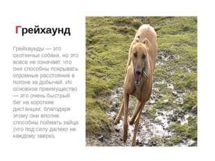 Грейхаунд Грейхаунды — это охотничьи собаки, но это вовсе не означает, что он