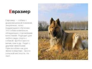Евразиер Евразиер — собака с уравновешенной психикой, энергичная, легко подда