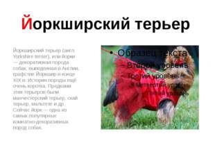 Йоркширский терьер Йоркширский терьер (англ. Yorkshire terrier), или йорки —