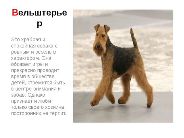 Вельштерьер Это храбрая и спокойная собака с ровным и веселым характером. Она...
