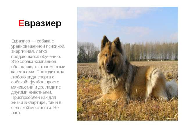 Евразиер Евразиер — собака с уравновешенной психикой, энергичная, легко подда...