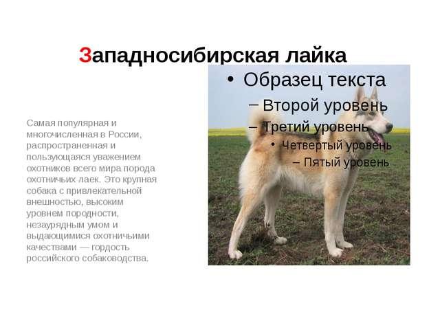 Западносибирская лайка Самая популярная и многочисленная в России, распростра...